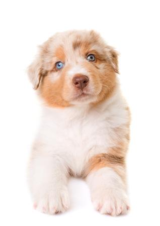 australian shepherd dog in front of white background