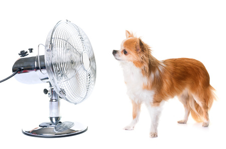 purebred chihuahua and fan in front of white background