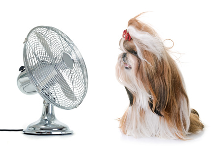 purebred shihtzu and fan in front of white background Stock Photo