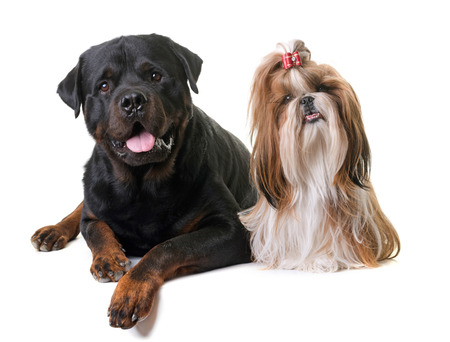 purebred shihtzu and rottweiler in front of white background Stock Photo