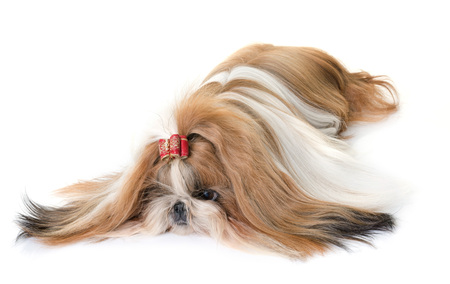 dog grooming: purebred shihtzu in front of white background