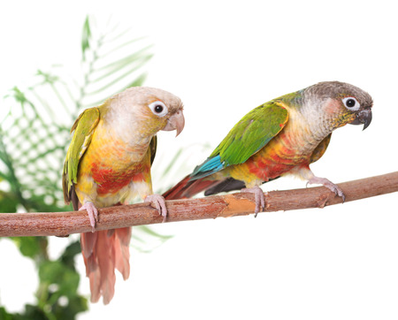 Green-cheeked parakeet in front of white background Stock fotó - 82077537