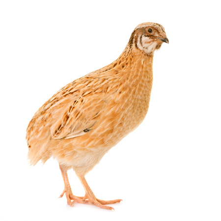 japanese quail  in front of white background