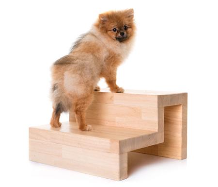 젊은 pomeranian 강아지와 계단 흰색 배경 앞에