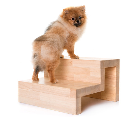 young pomeranian dog and stairs in front of white background