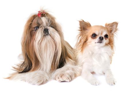 実はシーズー犬の純血種と白い背景の前にチワワ 写真素材