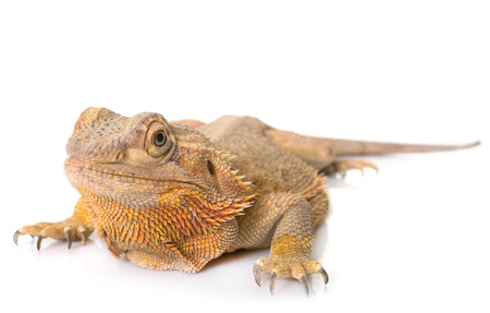 Central bearded dragon in front of white background Zdjęcie Seryjne