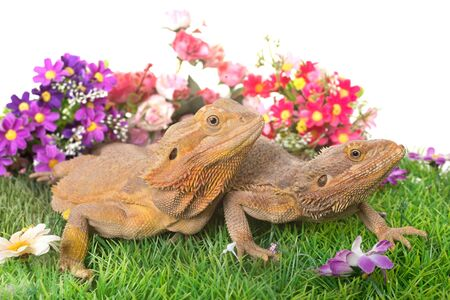 Central bearded dragon in front of white background Stock Photo