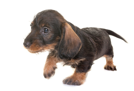 puppy Wire-haired Dachshund in front of white background Stock Photo
