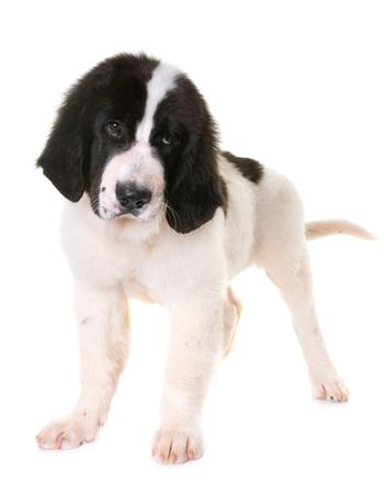 newfoundland: puppy landseer in front of white background