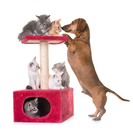 young kitten and dachshund in front of white background