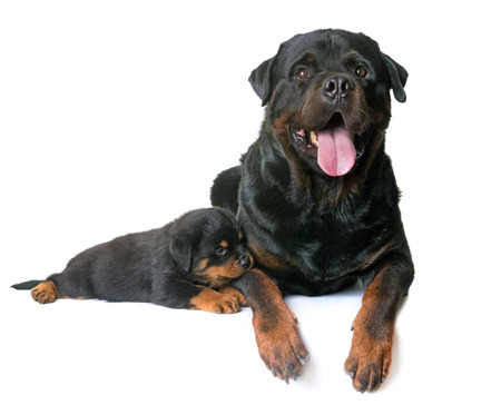 puppy and adult rottweiler in front of white background