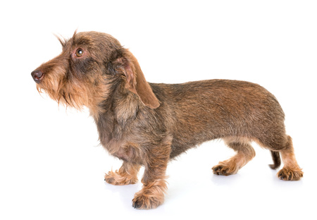 kaninchen Wire-haired Dachshund in front of white background
