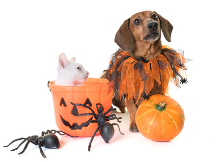 young kitten and dachshund in front of white background Stock Photo