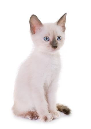 Jong kitten voor witte achtergrond