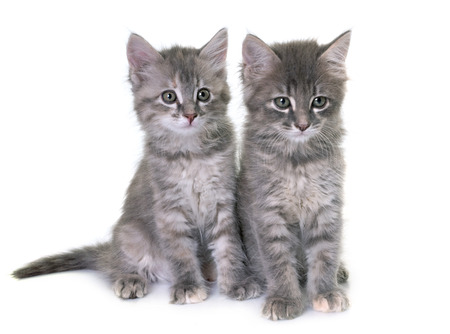gray cat: young kitten in front of white background Stock Photo