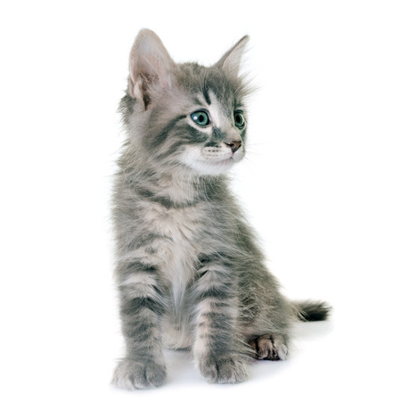 young kitten in front of white background Stock Photo