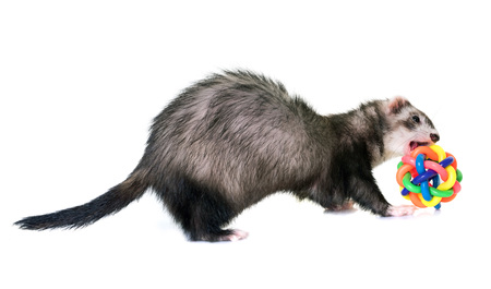 female ferret in front of white background Stock Photo