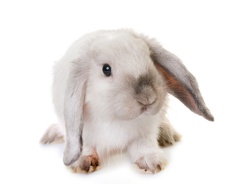 lop lop rabbit white: Mini Lop in front of white background