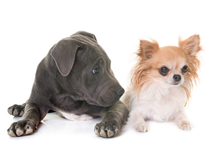 puppy staffordshire bull terrier and chihuahua in front of white background