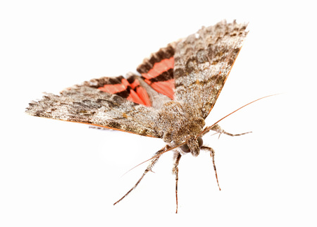 underwing: Red underwing butterfly in front of white background