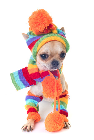 dressed shorthair chihuahua in front of white background Stock Photo