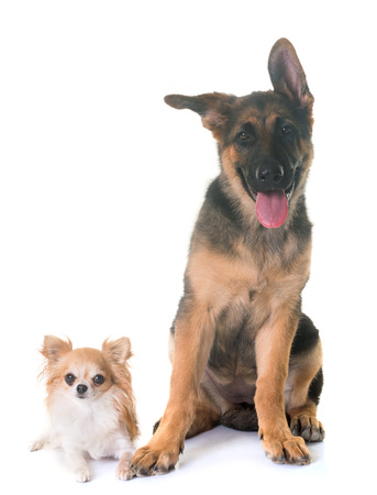puppy german shepherd and chihuahua in front of white background
