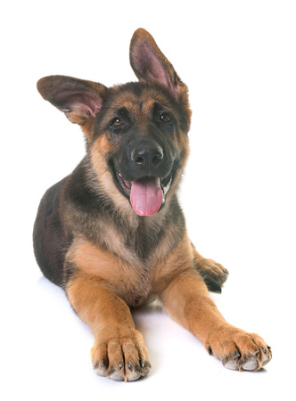 puppy german shepherd in front of white background Фото со стока