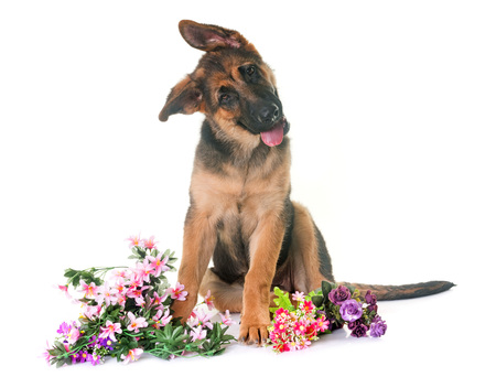 puppy Duitse herder voor witte achtergrond