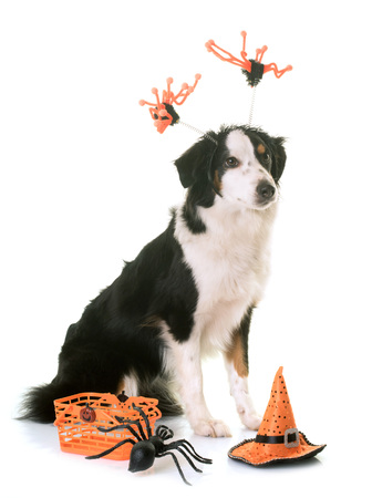 miniature american shepherd and halloween in front of white background Stock Photo