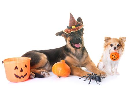 puppy Duitse herder, chihuahua en halloween voor witte achtergrond