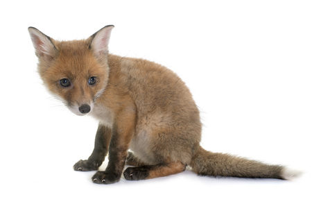 fox cub in front of white background Banco de Imagens