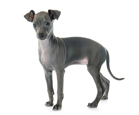puppy italian greyhound in front of white background