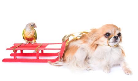 강아지, 새와 크리스마스 장식 흰색 배경 앞에
