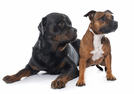 stafforshire bull terrier and rottweiler  in front of white background Stock Photo