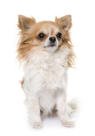 young longhair chihuahua in front of white background Stock Photo