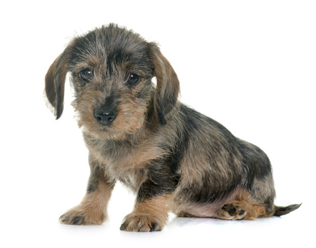 puppy Wire haired dachshund in front of white background Stock Photo