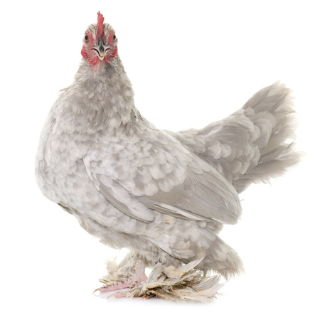 Booted Bantam in front of white background