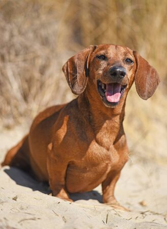 old brown dachshund sitting on the beach Stock Photo
