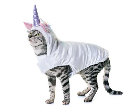 白い背景の前にベンガル猫 写真素材