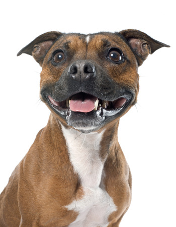 stafforshire bull terrier in front of white background Stock Photo