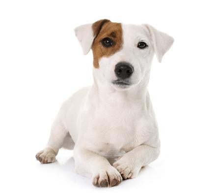 jonge jack russel terrier voor witte achtergrond Stockfoto