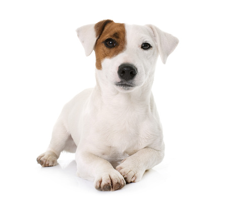 young jack russel terrier in front of white background Stock Photo