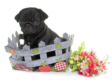 puppy black pug in front of white background Stock Photo