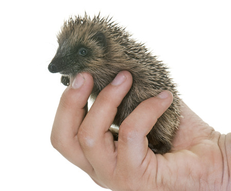 baby hedgehog in hand in front of white background Stock Photo