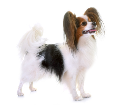 young papillon dog in front of white background Stock Photo