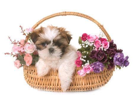 shih tzu puppy in front of white background