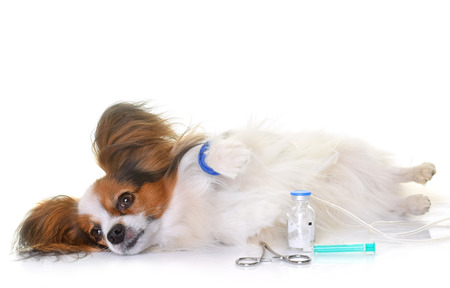 young papillon dog sick in front of white background Stock Photo