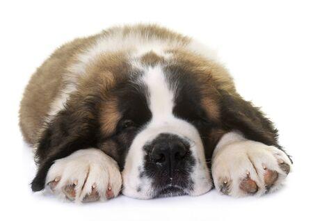 白い背景の前の子犬セイント・バーナード