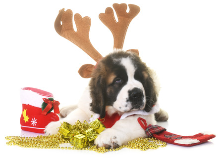 puppy saint bernard in front of white background and christmas